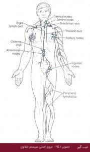 ساختار سیستم لنفاوی